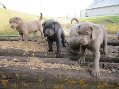 Silver Labrador AKC | AKC Registered Breeders Iowa
