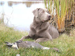 Hunting Labs for Sale
